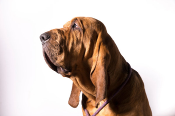 A Bloodhound Named Nathan 50 Shades of Wo...
